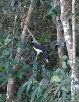 plush-crested jay in missiones argentina