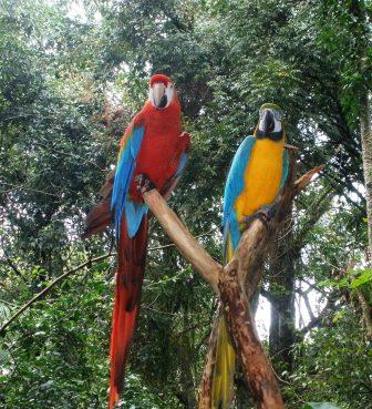red and green macaw with blue and yellos macaw