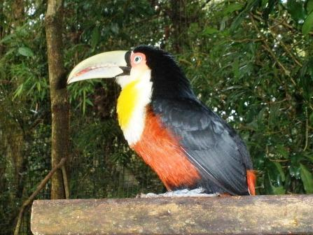 red breasted tucan
