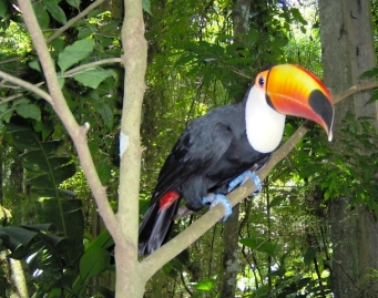 toucan in the wild